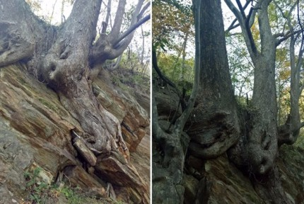 """竹山现千岁""""双胞胎""""珍贵花皮榔树"""