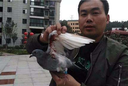 十堰市民撿到受傷鴿子 盼主人領回家