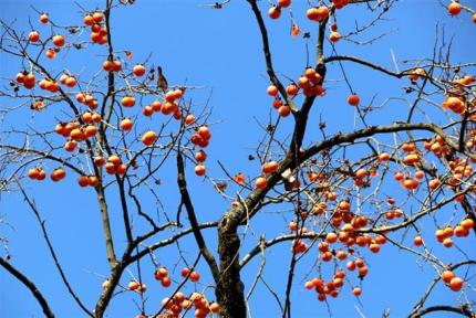 """鸟儿越冬有""""柿""""粮"""