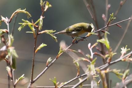 湖北鳥類添新紀錄種 系十堰攝影愛好者無意拍下