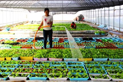 鄖陽柳陂鎮:大棚蔬菜變盆栽
