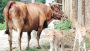 稀罕!郧阳区10岁母牛产下双胞胎 概率只有五万分之一