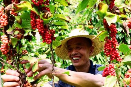 鄖陽五味子豐收 農民每戶增收超8000元