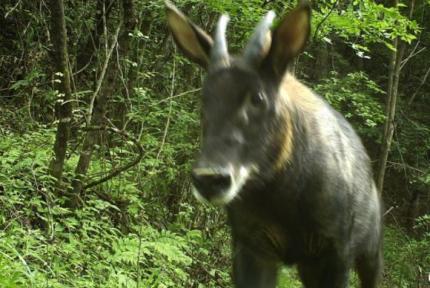 十堰大山深处 红外线相机拍下诸多珍稀野生动物