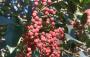 十堰街边绿化树上的果子能吃吗?权威解答来了
