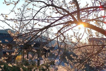 櫻桃溝:疫情之下 萬花依舊笑春風