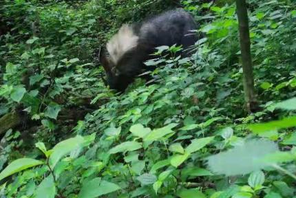 国家一级保护动物现身赛武当国家级自然保护区